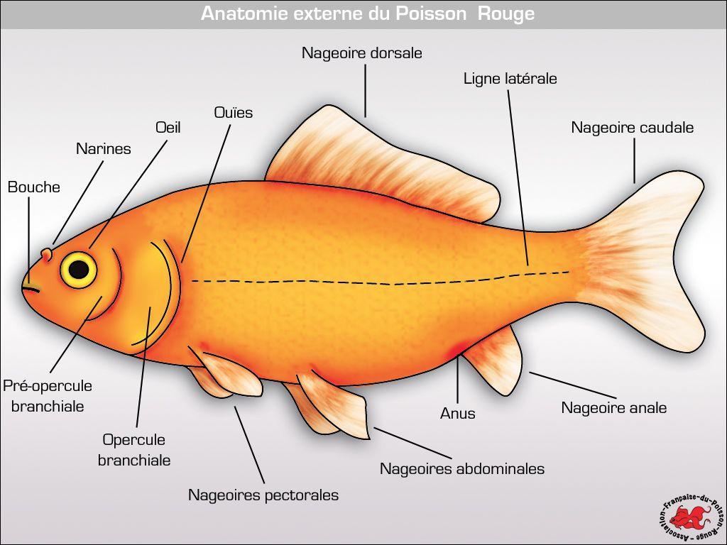 Association fran aise du poisson rouge anatomie du - Le petit poisson rouge maternelle ...