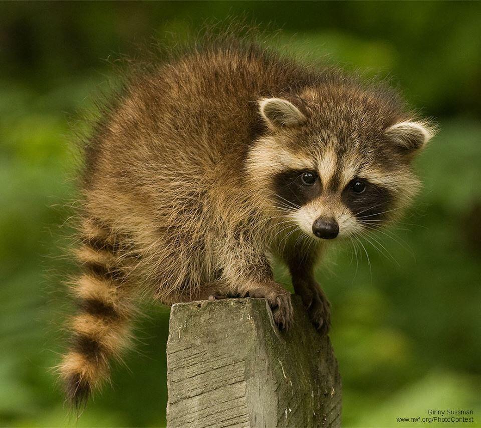 Mapache | Animals | Pinterest | Racoon, Raccoons and Animal