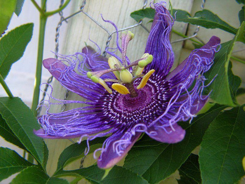 Passionsblume Passiflora Incarnata Biosamen Passionsblume Seltene Blumen Exotische Blumen