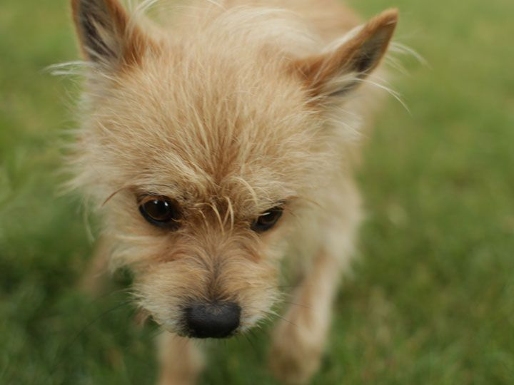 Border Terrier Chihuahua Cross With Images Animals Beautiful
