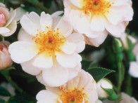 This is an excellent miniature rose for containers, dense and bushy, and covered with flowers all season.