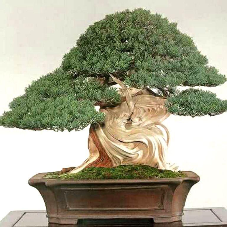 Deadwood Wars Bonsai Bark Bonsai tree care, Bonsai