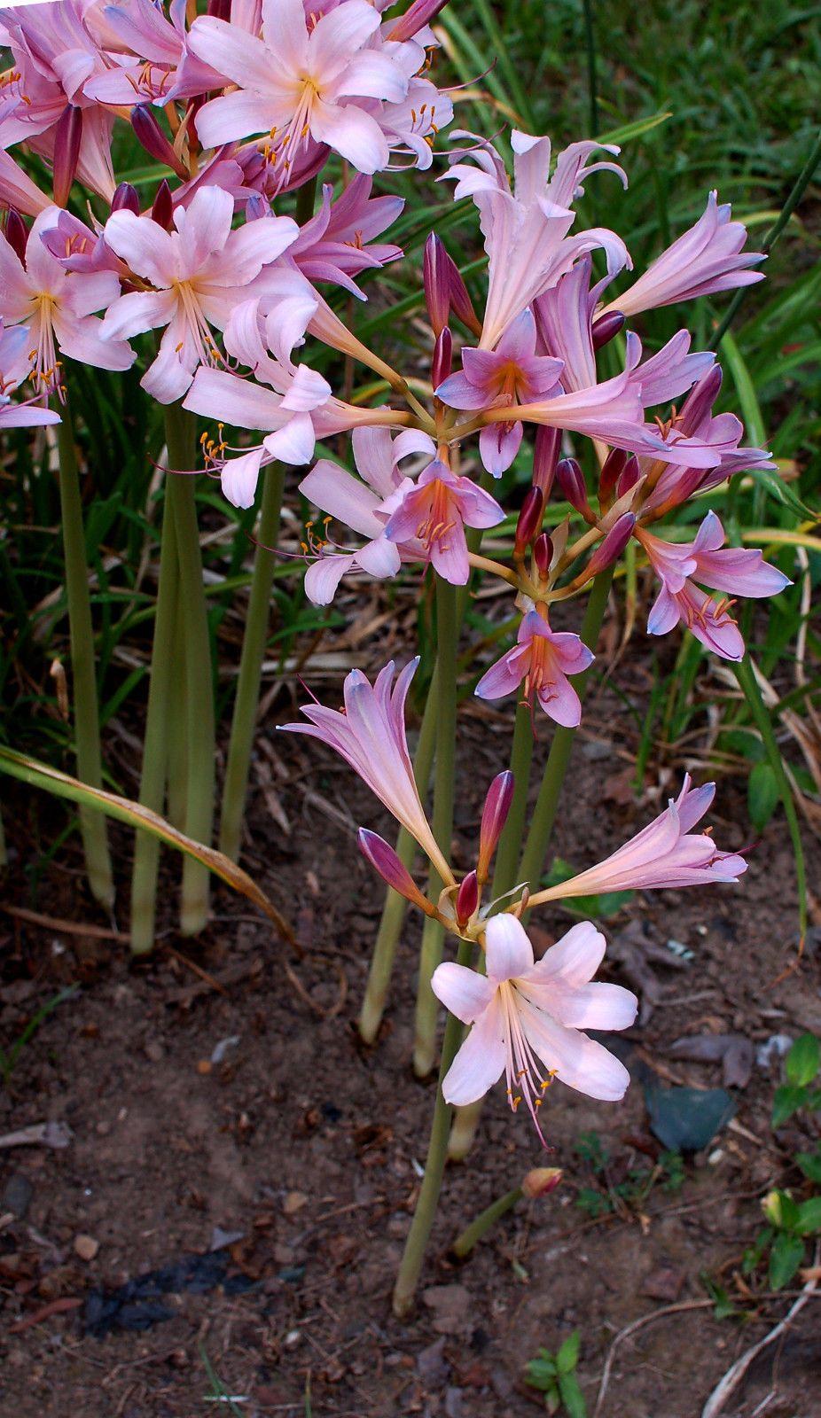 Naked Lady Lilies | Amaryllis belladonna - Belladonna Lily