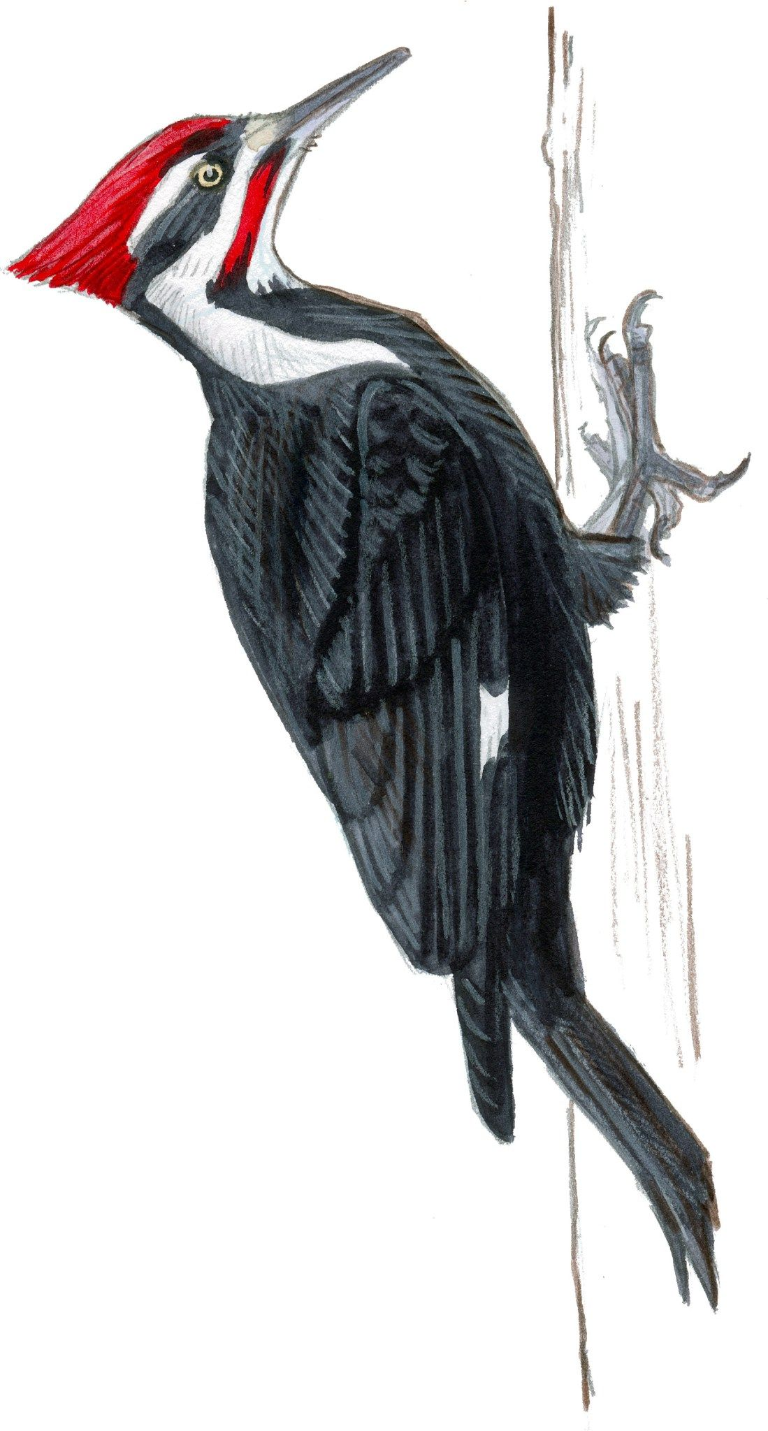 Pileated Woodpecker | Forest critters in 2019 | Bird ...