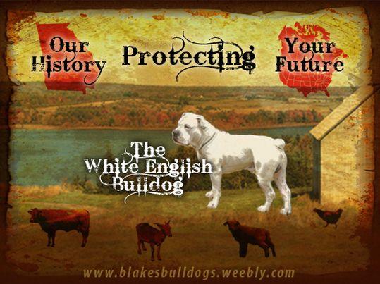 White English Bulldog Great Farm Dog