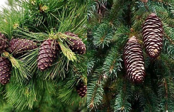 Coniferele Coniferele sunt plante superioare pentru că ...