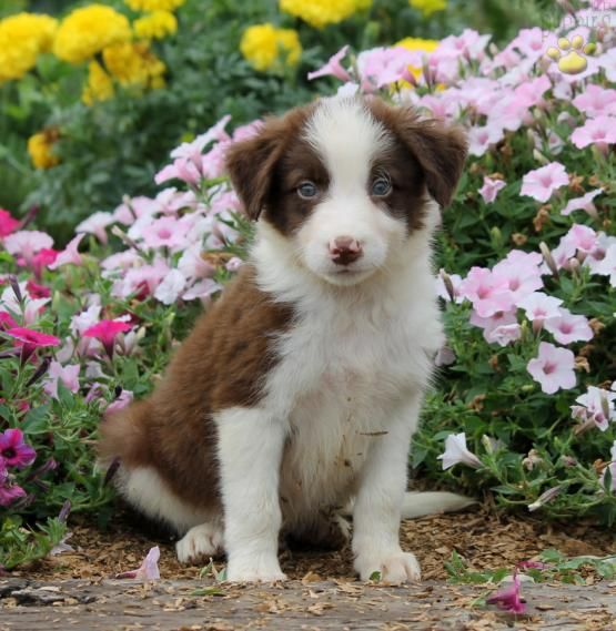 Ted Border Collie Puppy For Sale In New Providence Pa