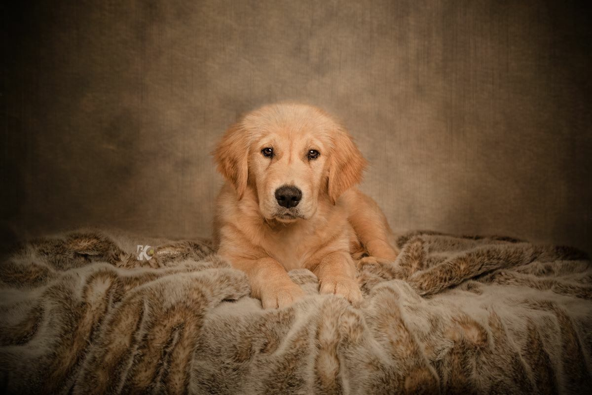 Sweet Golden Retriever Puppy In My Studio Hundar
