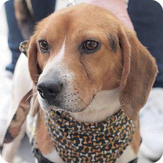 Fairfax Va Beagle Mix Meet Louie A Dog For Adoption Http