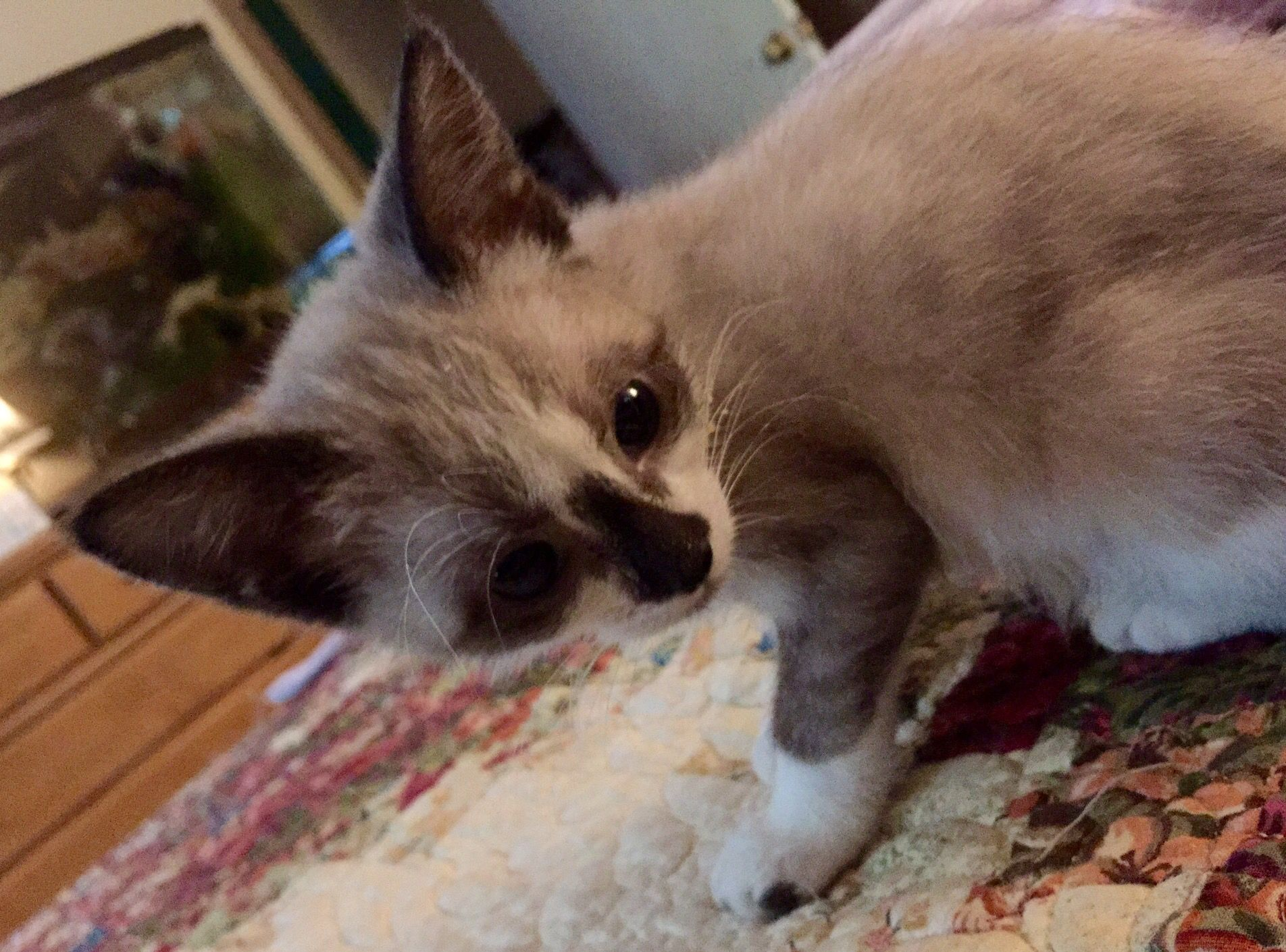 Zoe is now 3 months old and still only 1.8 lbs. She's the cutest little kitty. We're sure she is a Siamese mix...some Snowshoe markings? Anyway, she is beautiful, and as soon as she weighs enough and can be spayed, we will be able to adopt her. She is my little doll!