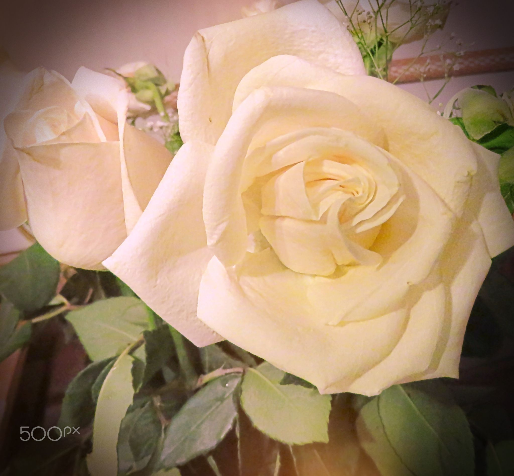 The White Rose Meaning Of White Rose Suited To Reverent Occasions