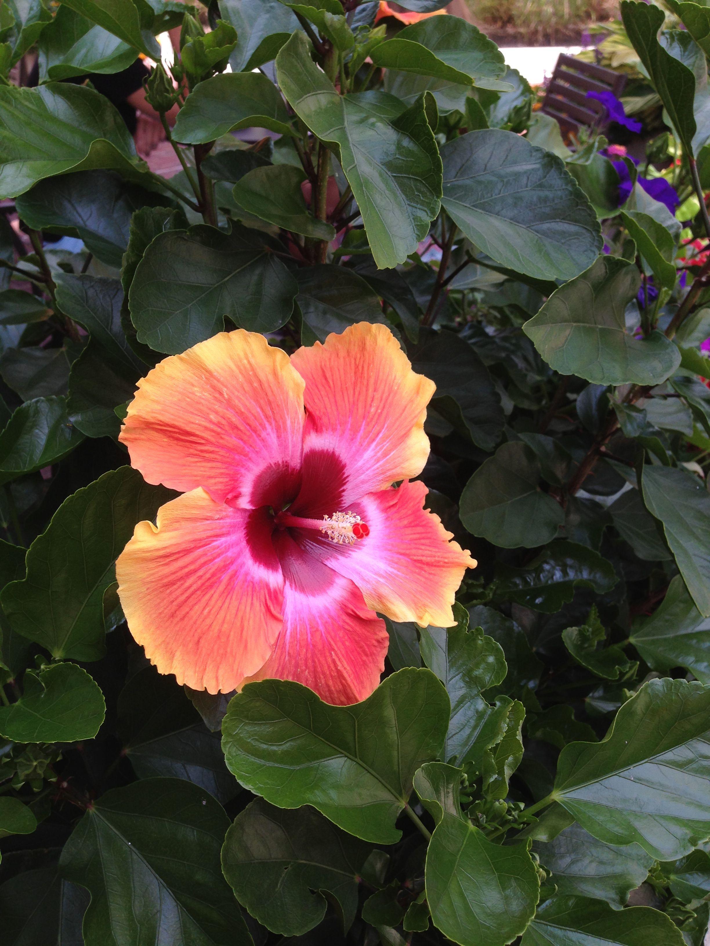 It Looks Like A Hawiian Flower Hibiscus Pinterest Flowers