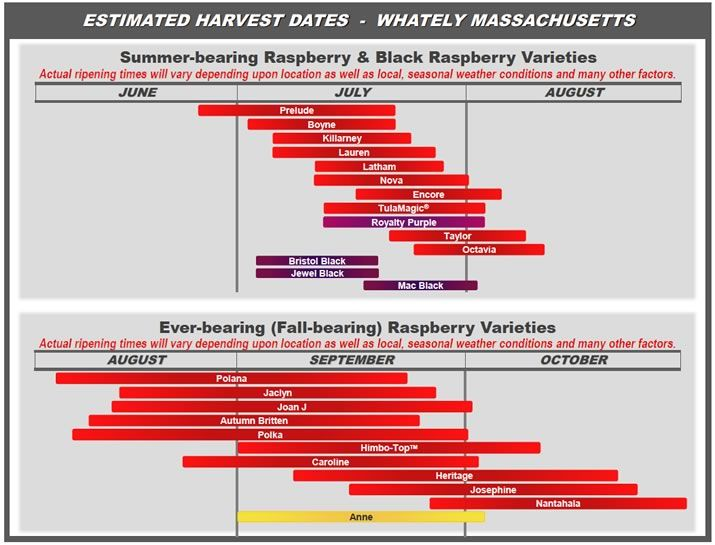 Great Chart Of Harvest Times For Different Raspberry