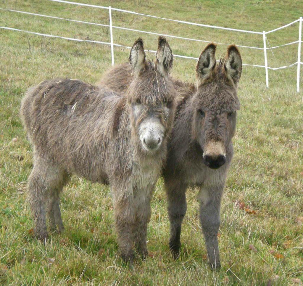 Idea by Susan Monroe on Donkeys Cute donkey, Miniature