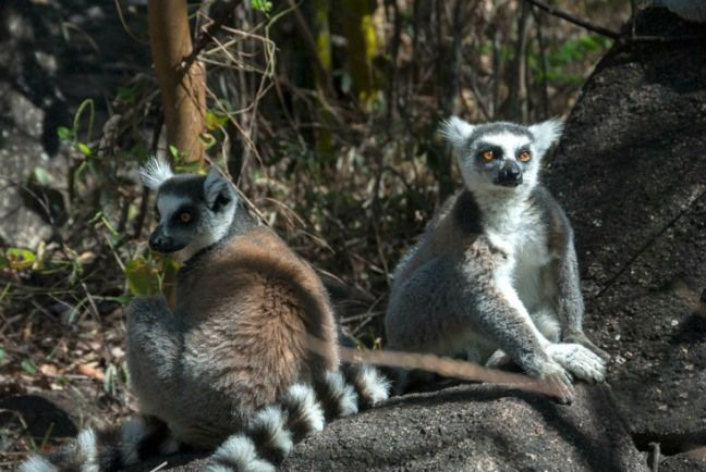 MADAGASCAR: Conserving Ring-tailed Lemurs at Anja Reserve