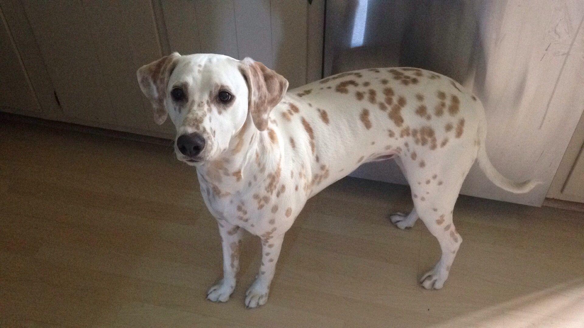101 Dalmatians Porn ania- lemon spotted dalmation | dogs, dalmatian, animals
