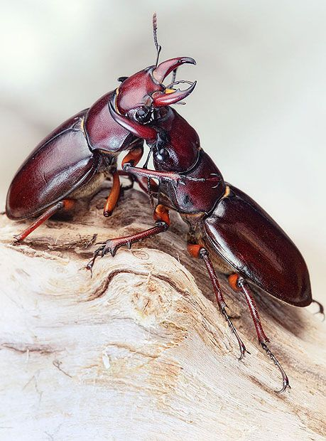 A Lucanus Capreolus (Reddish-brown Stag Beetle) : Amazing reptiles and amphibians photographed by Igor Siwanowicz
