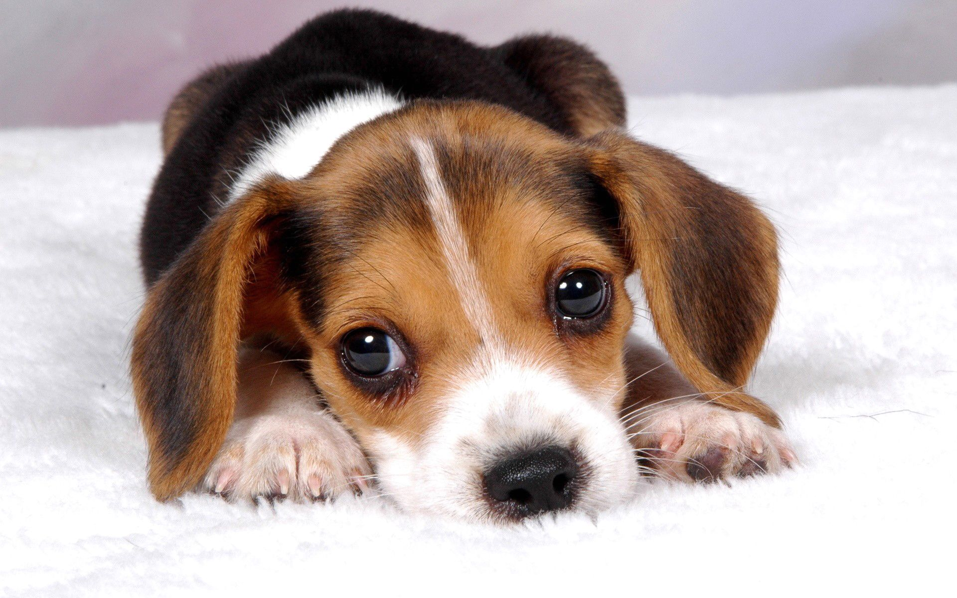 Cute Puppy Baby Dog Wallpaper Hd 8 Cute Beagles Beagle Puppy