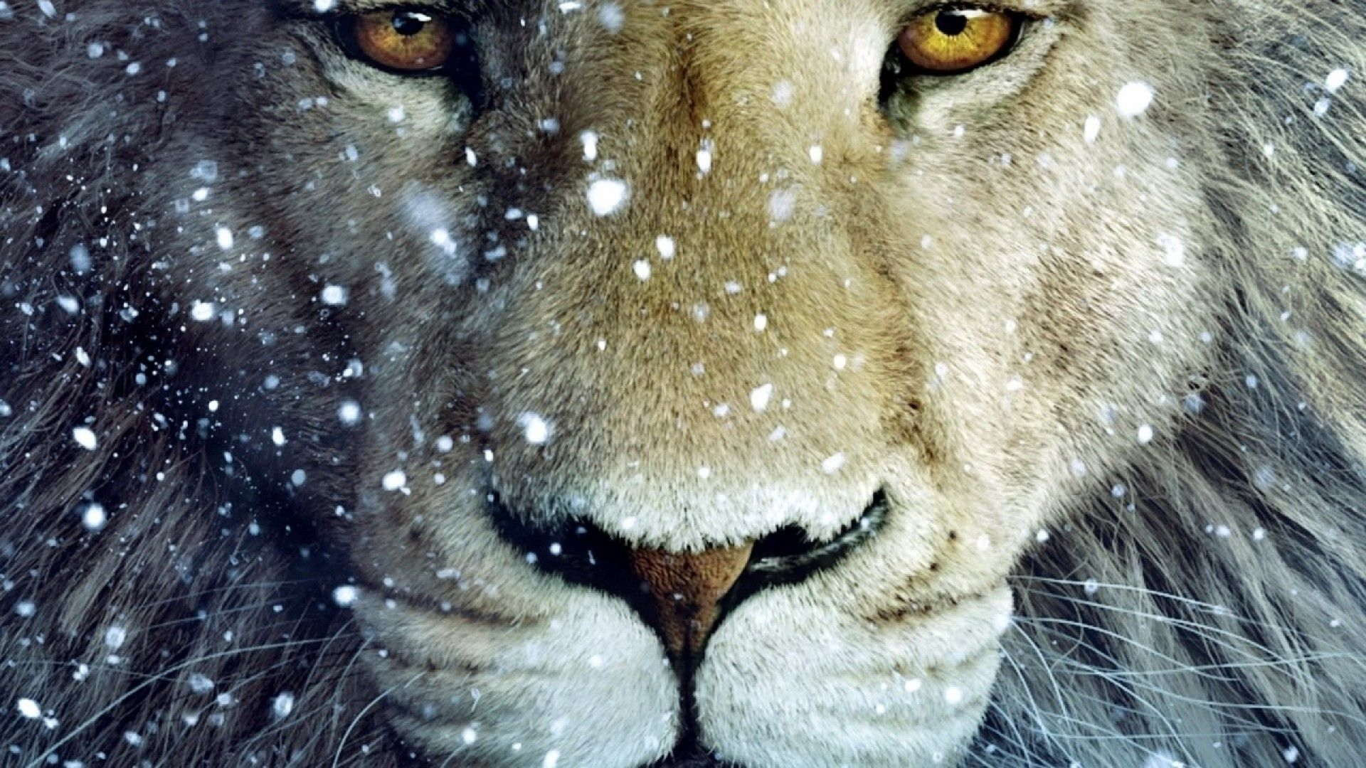 Lion Wallpaper 1080p Hd