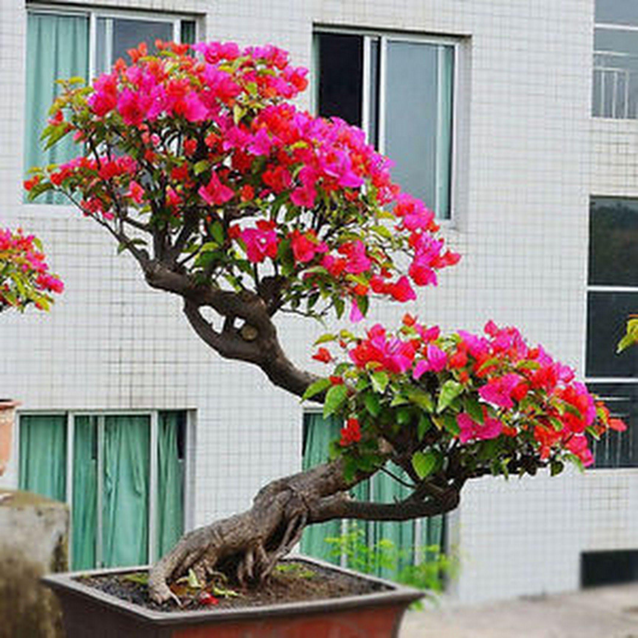 Bougainvillea Large Bonsai Tree From Indoorbonsaiandexotics