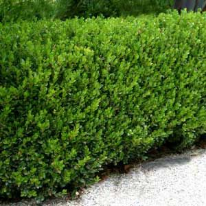 Japanese boxwood hedge low maintenance shrubs for Low maintenance evergreen shrubs