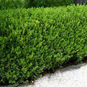 Japanese boxwood hedge low maintenance shrubs for Low maintenance evergreen shrubs
