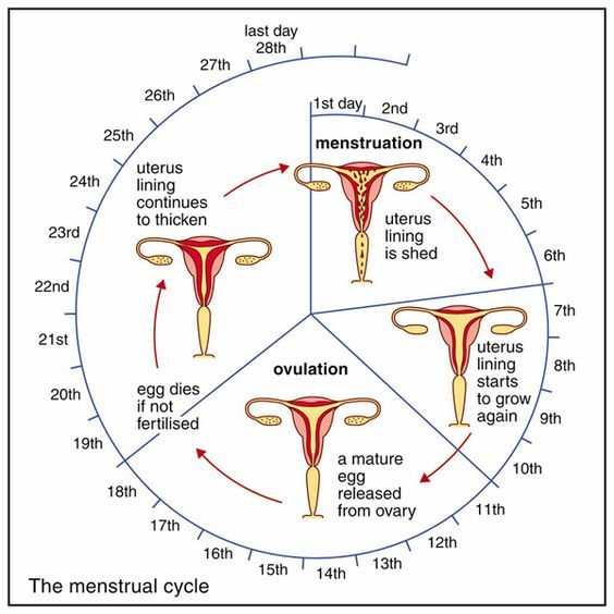Menstrual Cycle Worksheets Google Search 4th Quarter Nursing