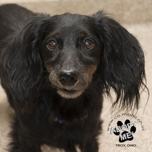 Pictures of Elroy a Dachshund for adoption in Troy, OH who