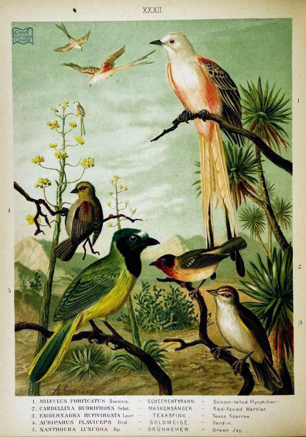 Illustration of various birds (Cornell University ...
