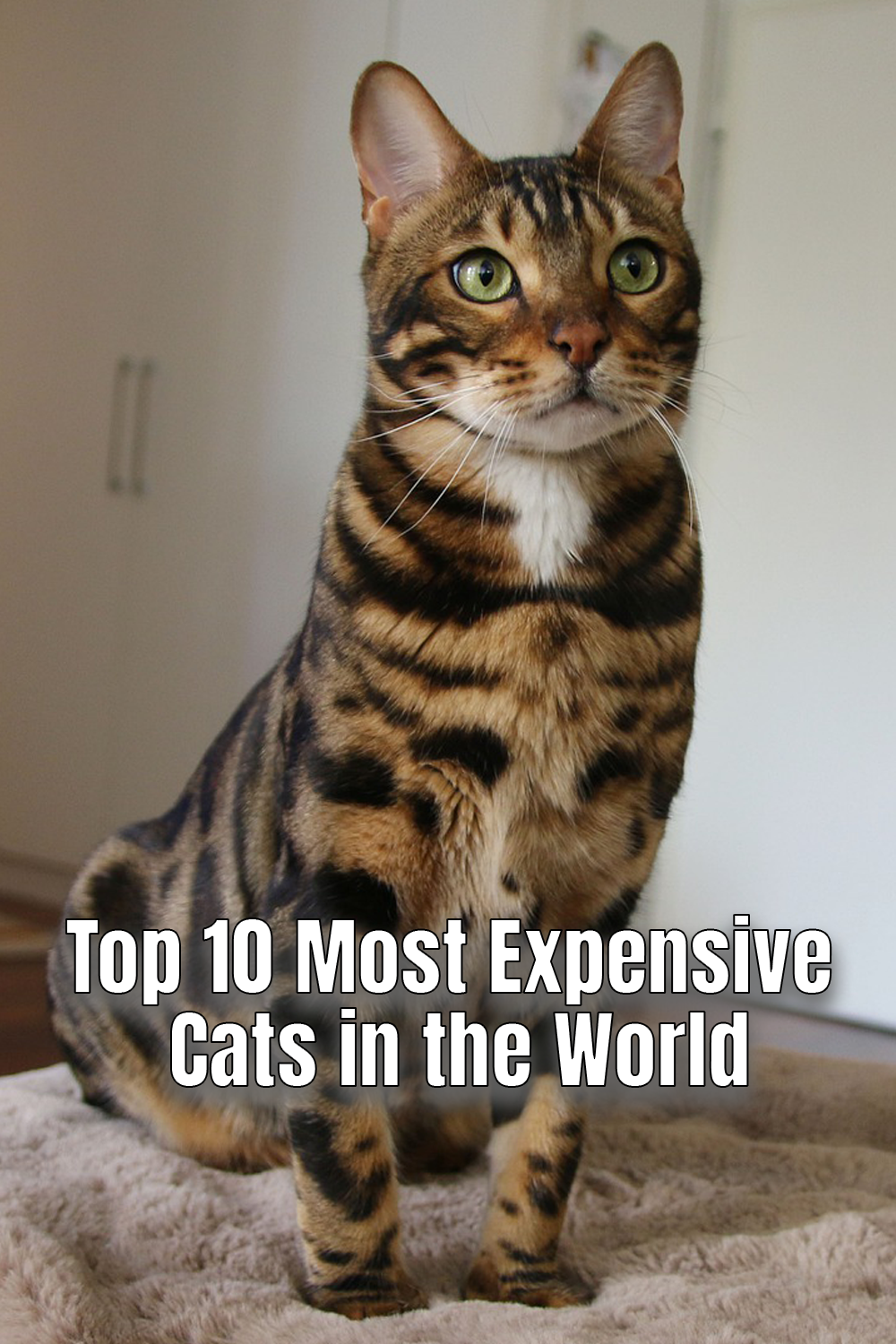 Top 10 Most Expensive Cat Breeds in the World in 2020