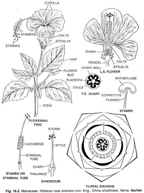 Kt Qu Hnh Nh Cho Hibiscus Rosa Sinensis Drawing Kinds Plant