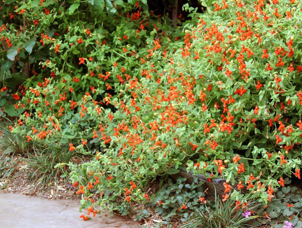Mimulus Cardinalis Monkey Flower California Native Plants