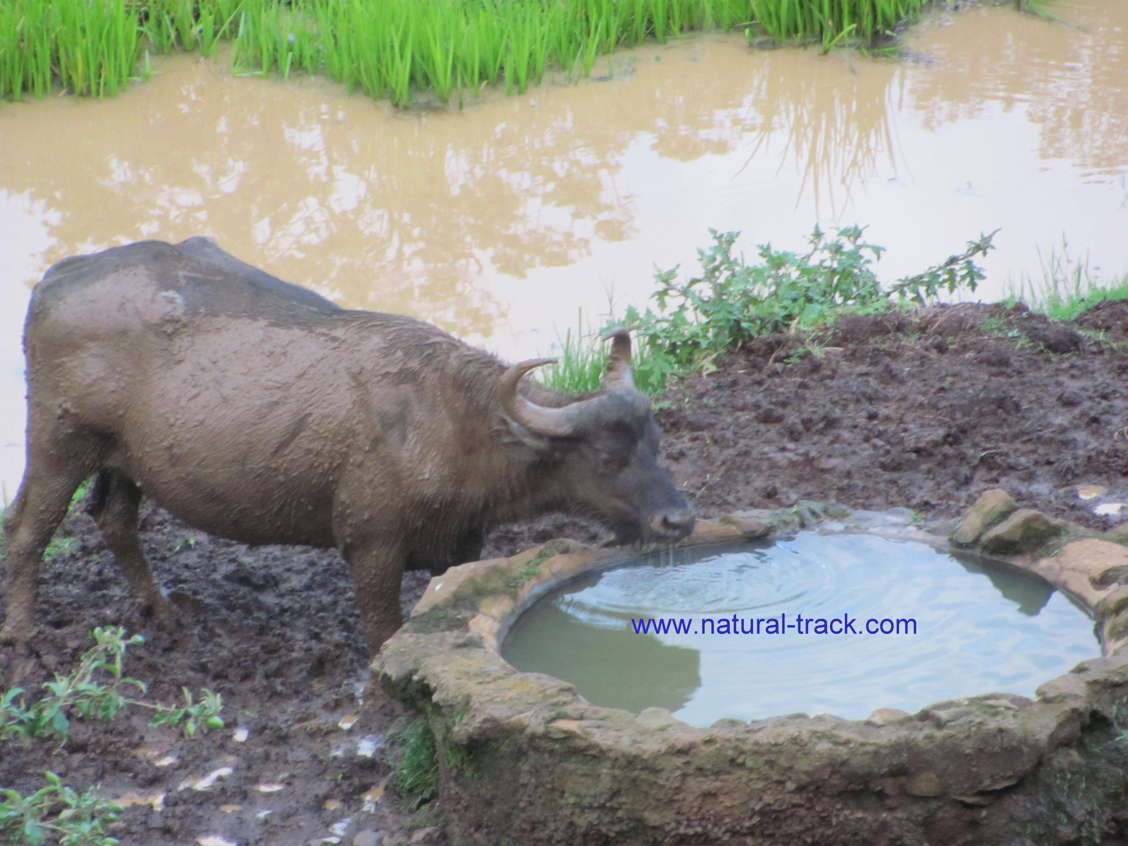 African buffalo drinking water from a small pool of water