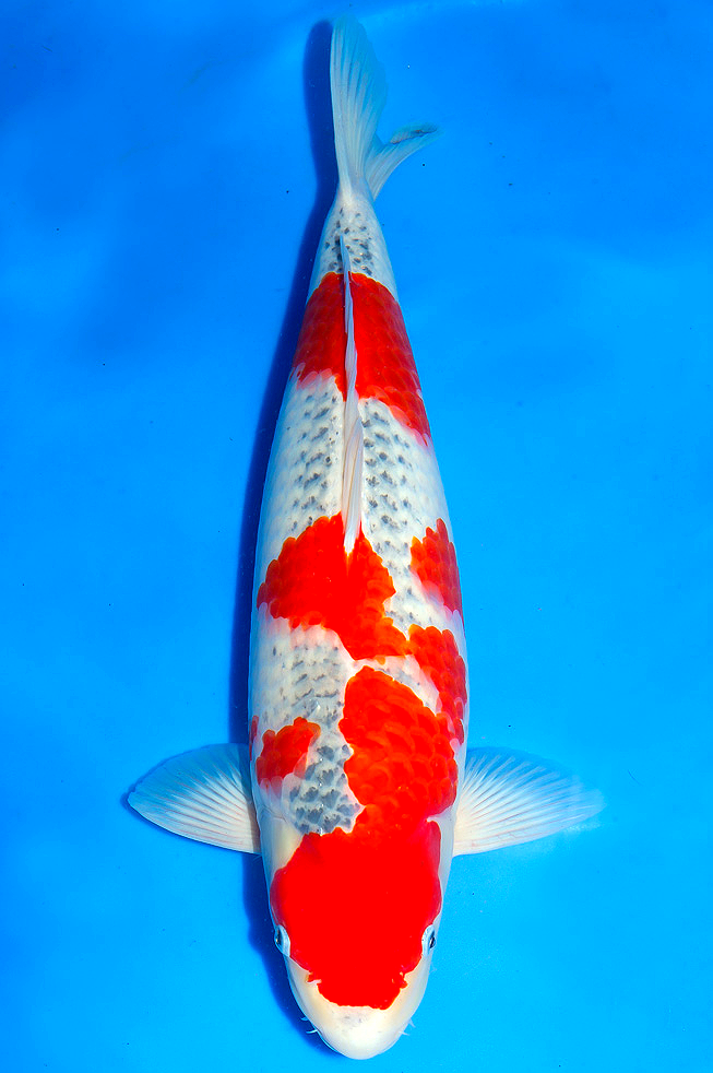 Nezu Goshiki Goshiki With Grey Background With Beni Markings Japanese Koi Koi Fish Koi Carp
