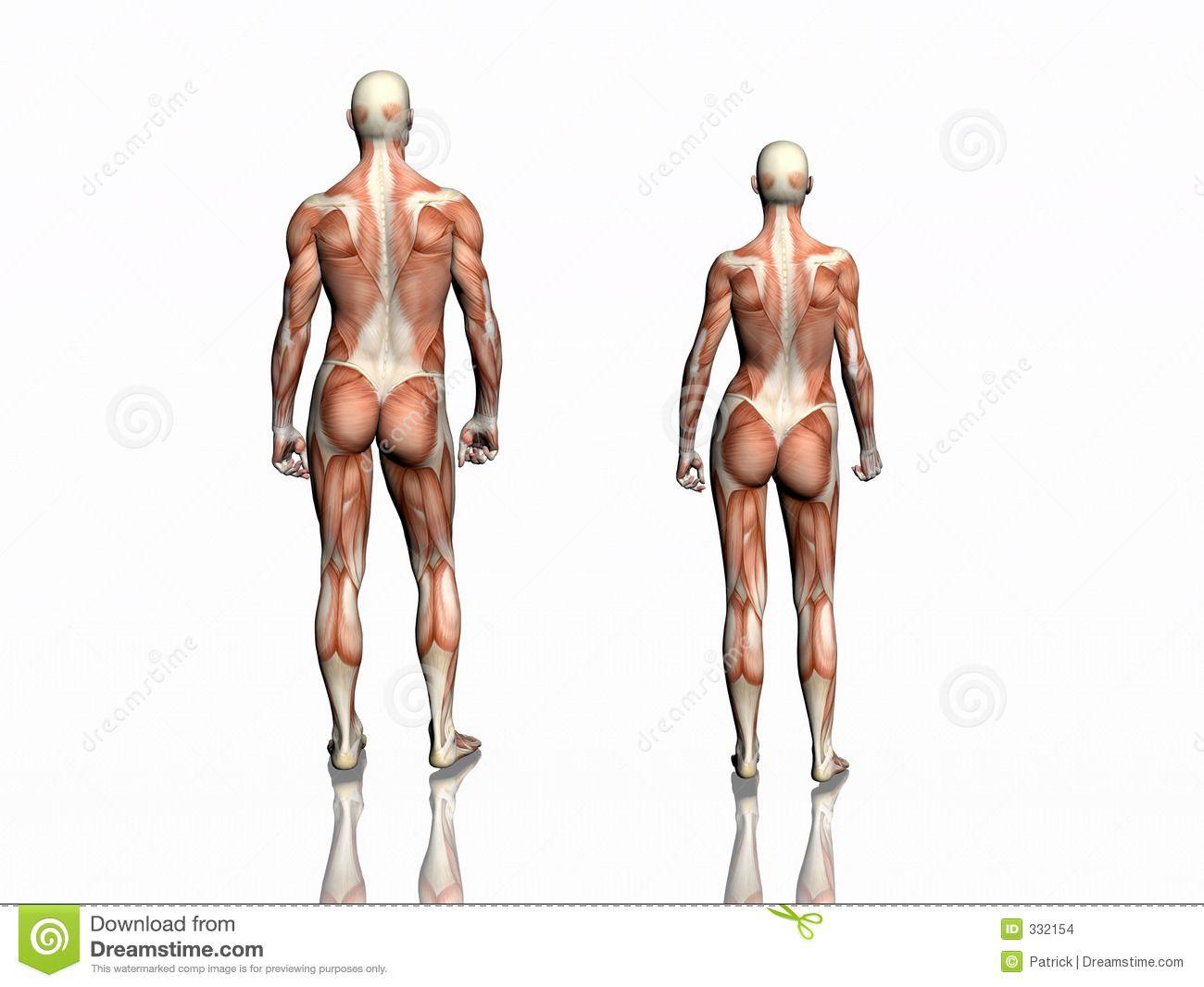 Female Back Muscle Anatomy Human anatomy woman back | Male Anatomy ...
