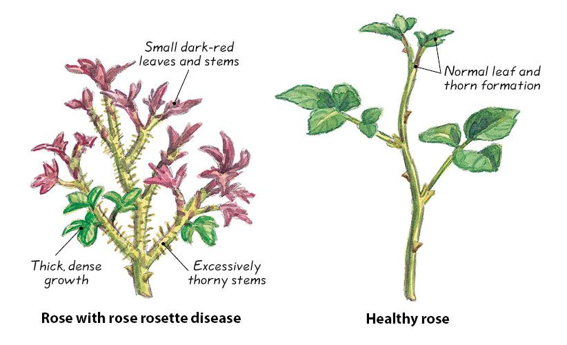 How To Identify And Prevent Rose Rosette Disease Rosette Disease