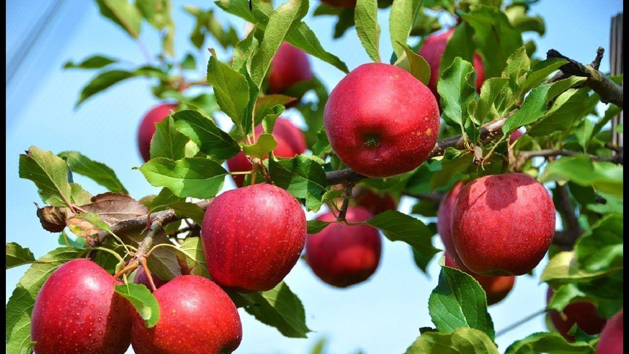 Người Kiếm được Tiền đầu Tien Khong Co Nghĩa Rằng Họ La Người Giau Nhất Người Chăm Chỉ Lam Việc Nhất Cũng Kho Planting Apple Trees Apple Tree Fruit Plants