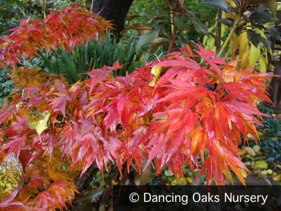 mikawa yatsubusa japanese maple | Acer palmatum 'Mikawa Yatsubusa'