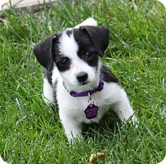 Breed Beagleterrier Unknown Type Small Mix Color White With