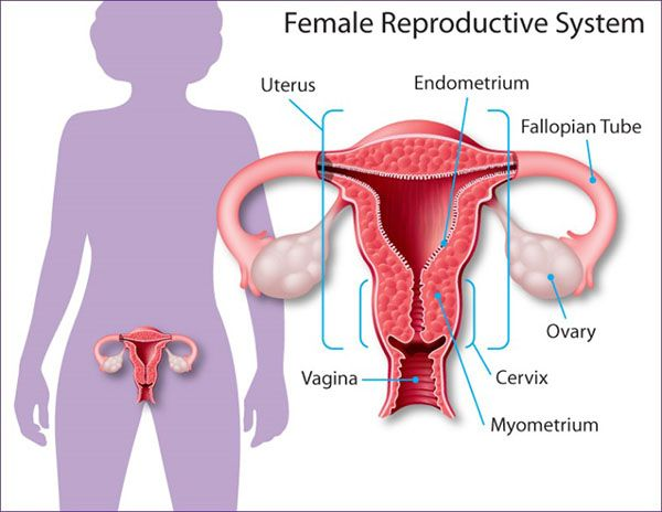 Diagram Of Female Reproductive System Showing The Fallopian Tubes