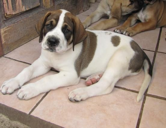 Saint Bernard Great Dane Mix Google Search