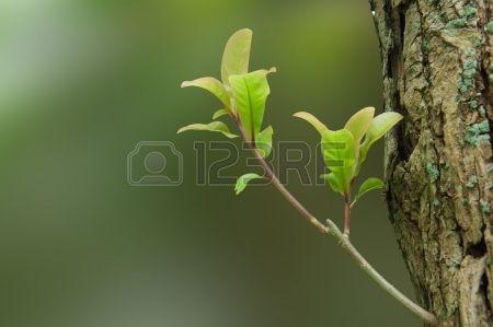 Delicadas hojas jóvenes y brotación de las yemas en un liquen-cubiertas Troncos Foto de archivo