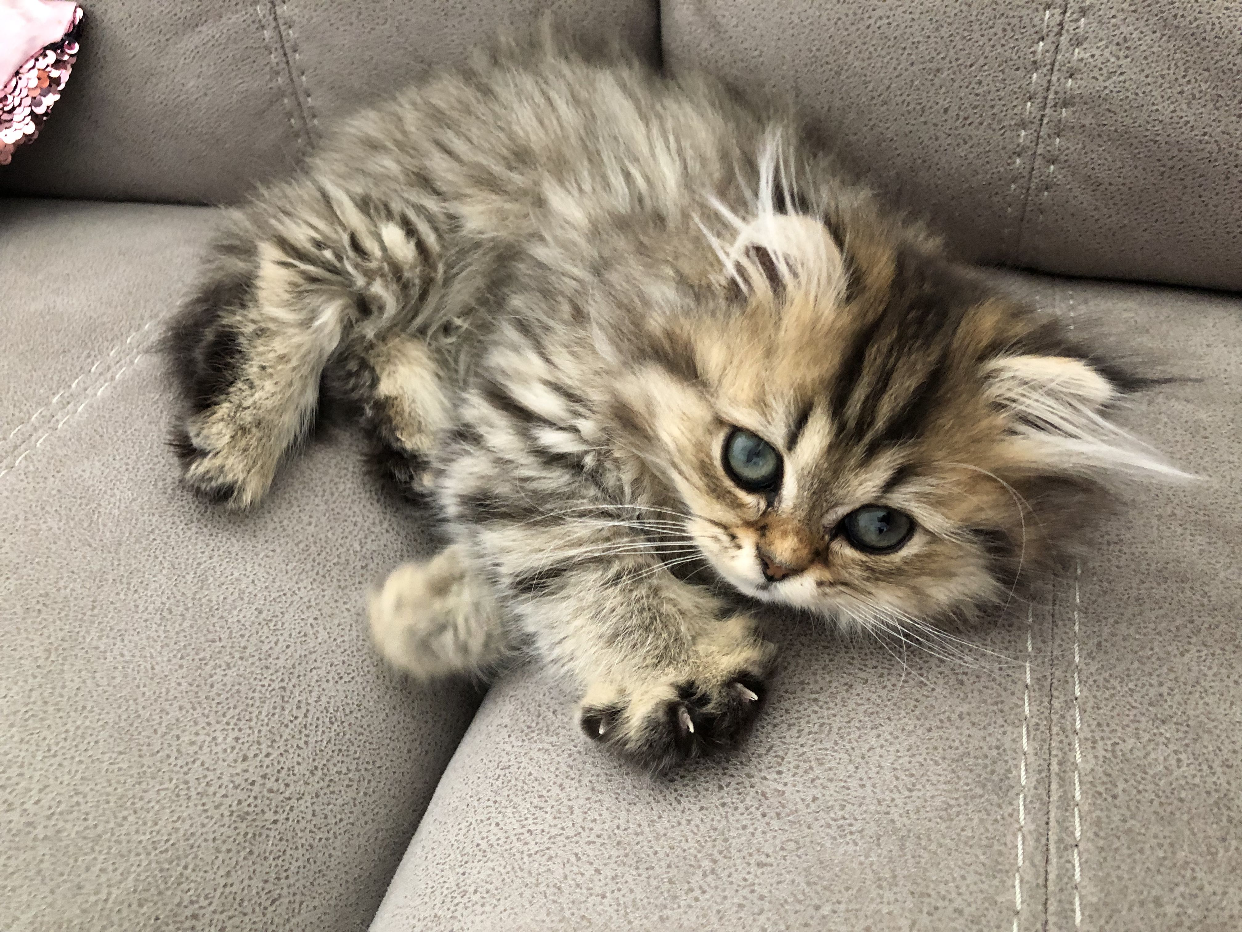 Pin By Shibra K On Pickles An Adorable Kitten Adorable Kitten Kitten Animals