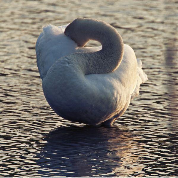 sunset grooming Swan, Sunset, Grooming