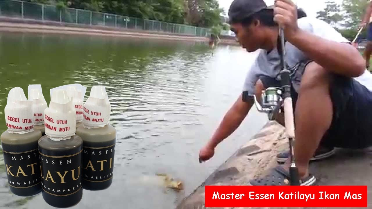 Cara Pakai Essen Katilayu Untuk Umpan Ikan Mas Master Essen Katilayu Merupakan Produk Essen Katilayu Asli Yang Terbuat Dari Minyak Getah K Essen Ikan Ikan Mas