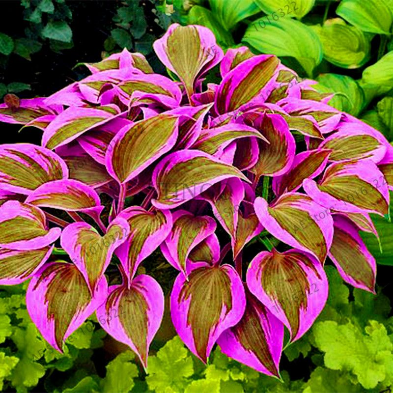 100pcs//pack Hosta Seeds bonsai Perennials Plantain Lily Flower White Lace Seeds