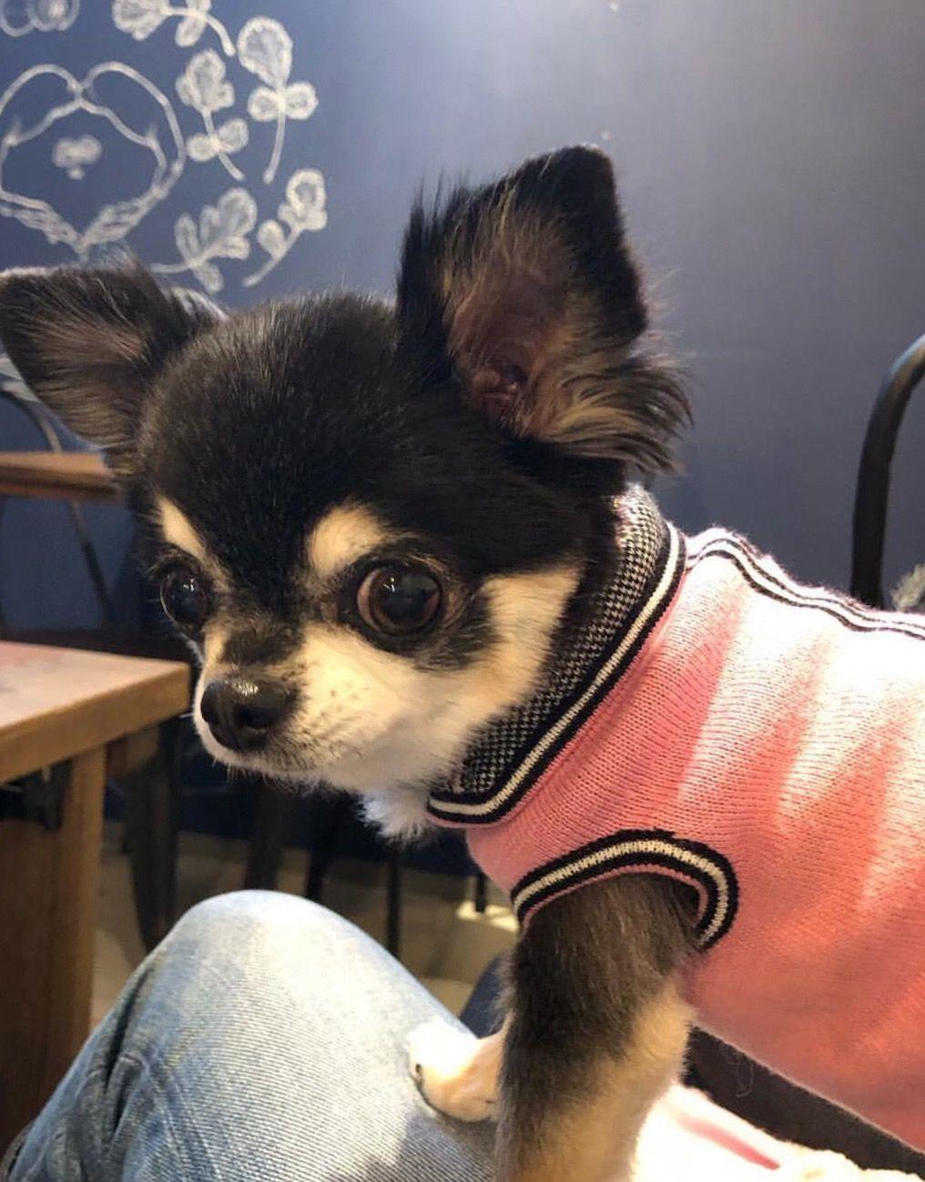Chihuahua Dog Chiwawa Dog Information Chihuahua Toy Dog