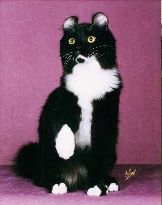 Manx Cat Black And White Color Pets Blog Manx Cat Cat Breeds Cymric