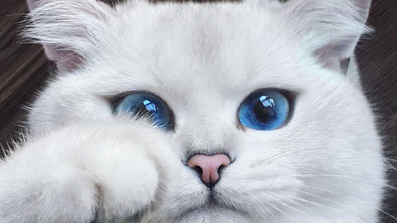 قطة تمتلك أجمل عيون في العالم Https Youtu Be Smsijfoh3za Cute Animals British Shorthair Cats Cats