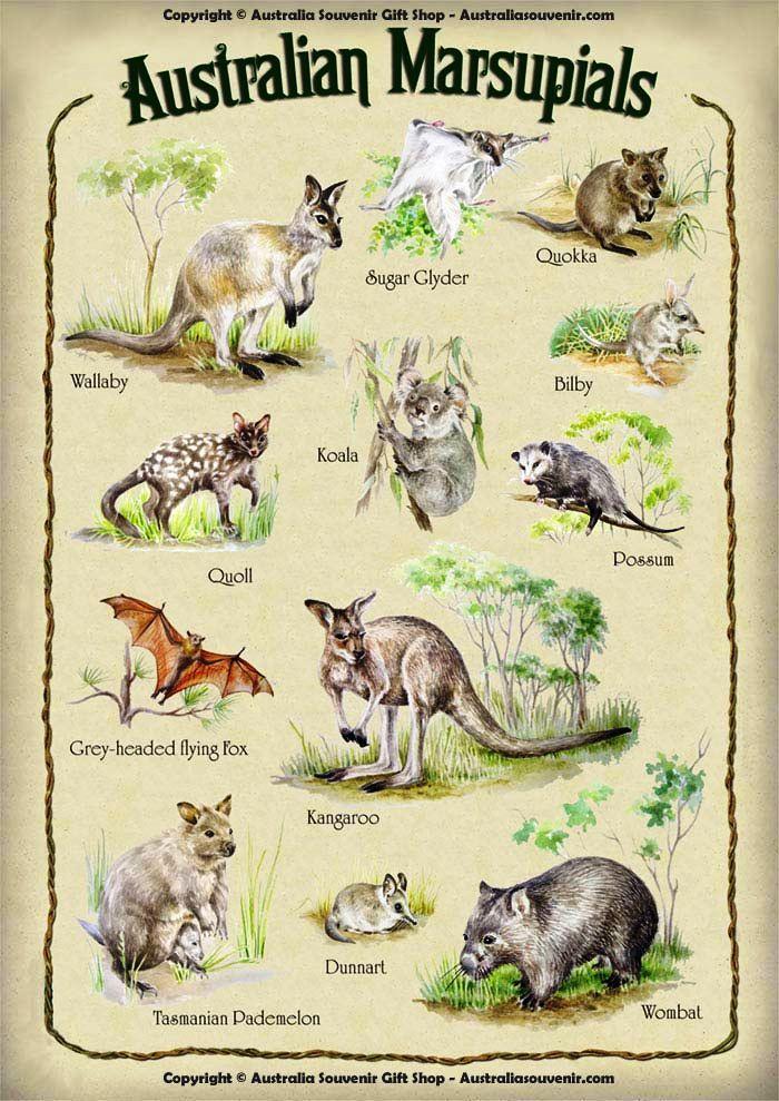 AUSTRALIAN MARSUPIAL CHART. Marsupial, Australia animals